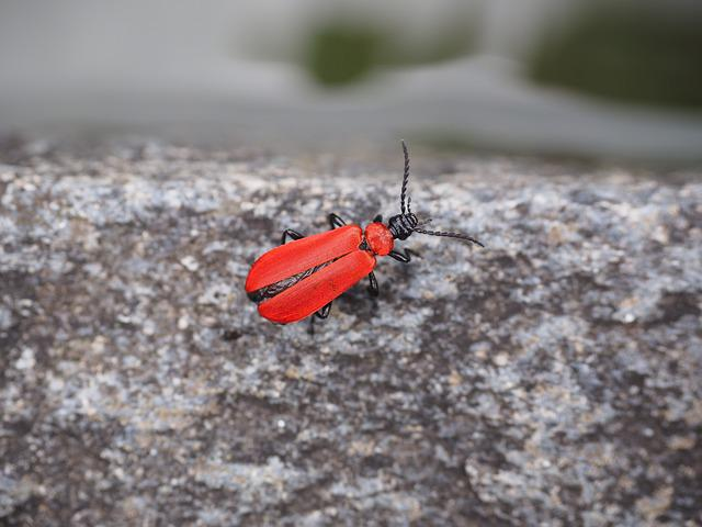 Scarlet Fire Beetle, Beetle, Insect, Red
