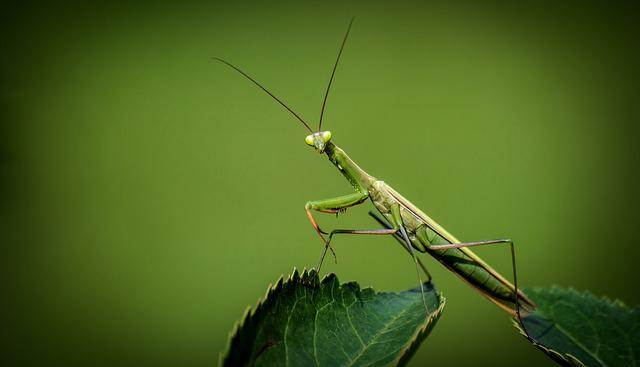 Praying, Mantis Religiosa, Insect, Green, Bush, Sheet