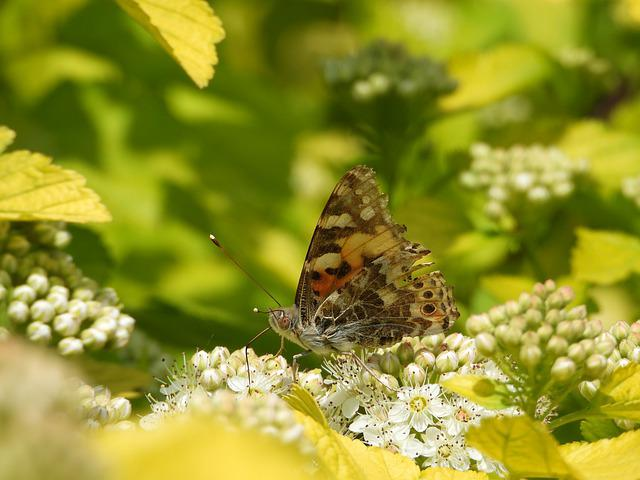 Butterfly, Spring, May, Shrubs, Flowers, Insect, Nature