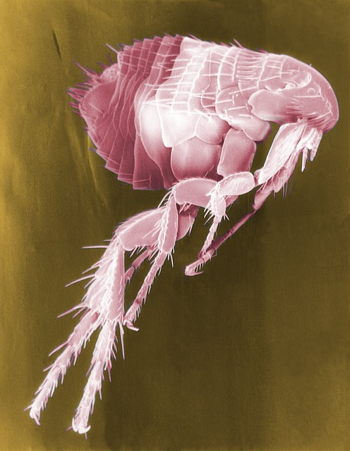 Flea, Siphonaptera, Insect, Parasite