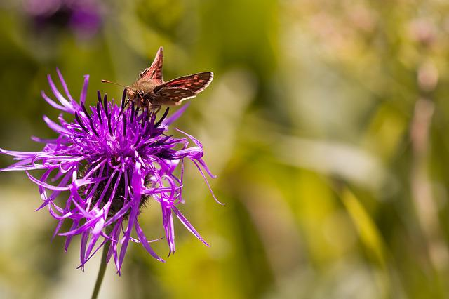 Hesperia Comma, Skipper, Butterfly, Insect, Nature