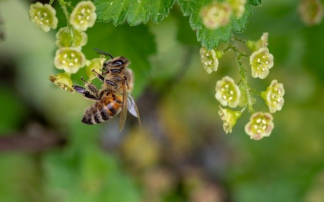 Bee, Honey Bee, Insect, Collect Pollen, Spring, Pollen