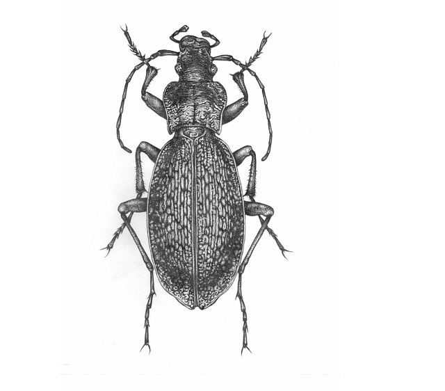 The Beetle, Insect, Nature, Isolated, One, Ink
