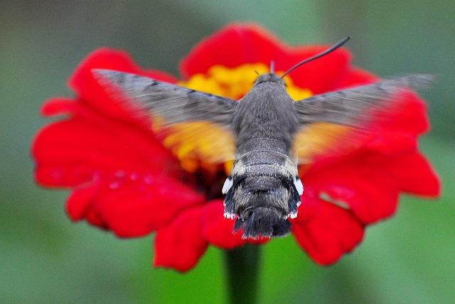 Insect, Moth, The Hummingbird Hawk-purple