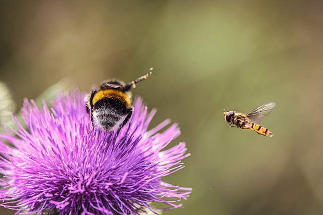 Thistle, Flower, Insect, Hummel, Hoverfly, Nature