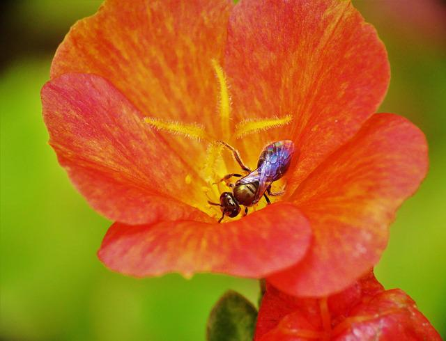 Insect, Tiny Bee, Rust And Yellow Flower, Macro