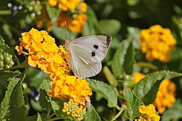 White, White Ling, Butterflies, Butterfly, Insect