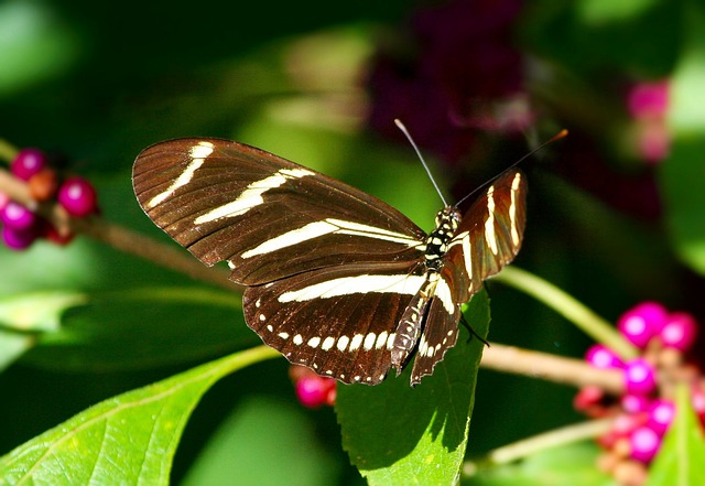 Zebra Longwing Butterfly, Insect, Wings, Flying, Bug
