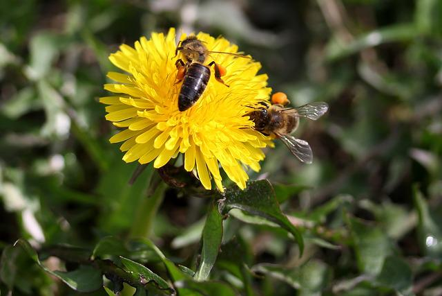 Dandelion, Bee, Yellow, Pollen, Insecta, Diligent