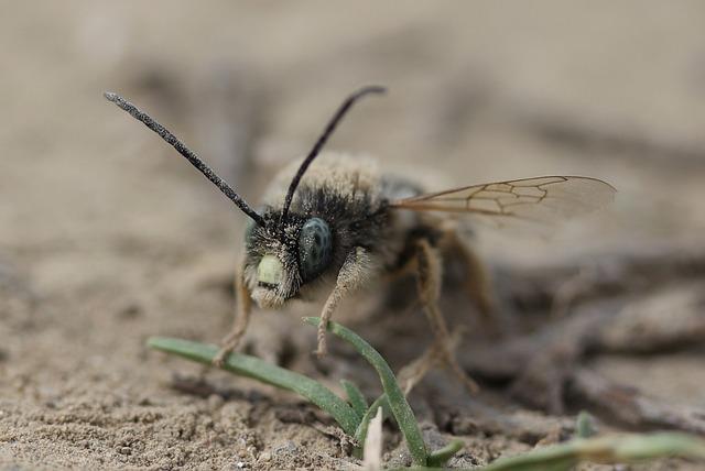 Bee, Wild, Insecta, Ground, Macro