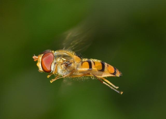 Insects, Brine Fly, Episyrphus, Balteatus, Flight