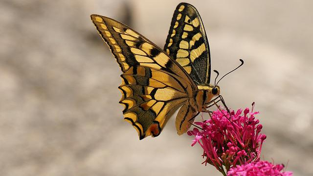 Nature, Butterfly, Insects, Swallowtail, Macro
