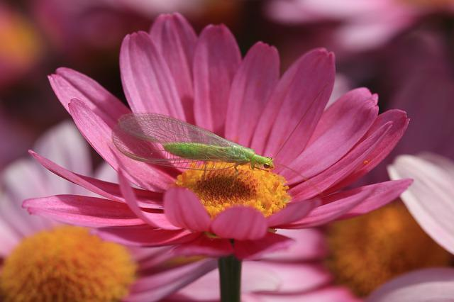 Insects, Fly, Green, Wings, Chrysopidae Carnea, Nature