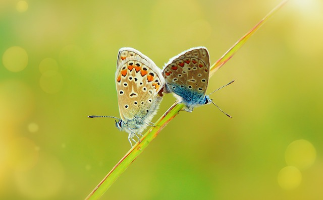 Polyommatus Icarus, Insects, Butterfly Day, Copulation
