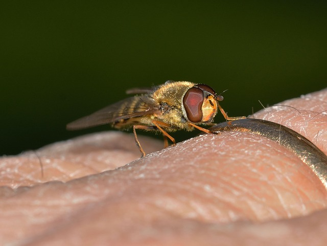 Insects, Diptera, Episyrphus