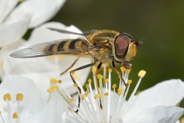 Insects, Diptera, Syrphus