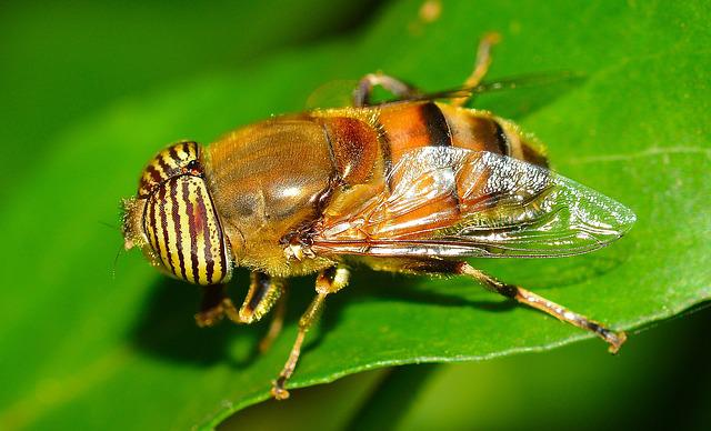 Insects, Diptera, Eristalinus