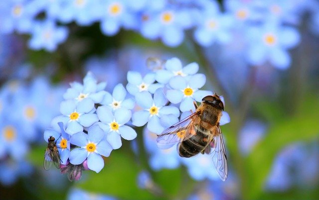 Bee, Insects, Pollinate, Fly, Pollination, Flowers