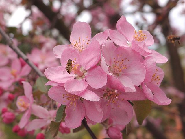 Flowers, Insects, Fly, Fly Hoverfly, Apple Tree