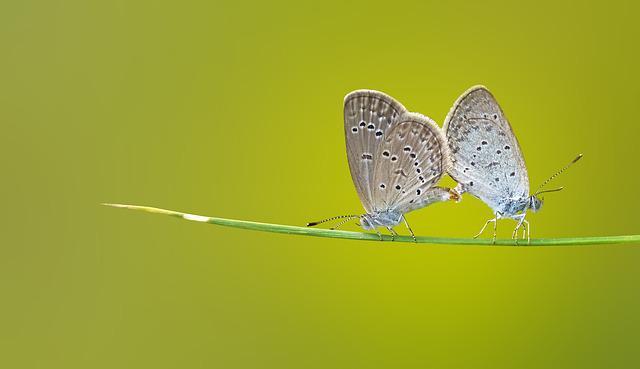 Butterfly, Insects, Macro, Green, Nature, Mating