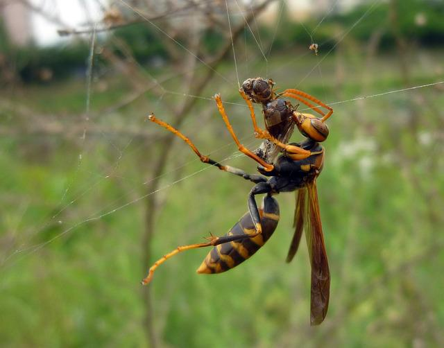 With Black Paper Wasp, Insects, Hunt, Jungnangcheon