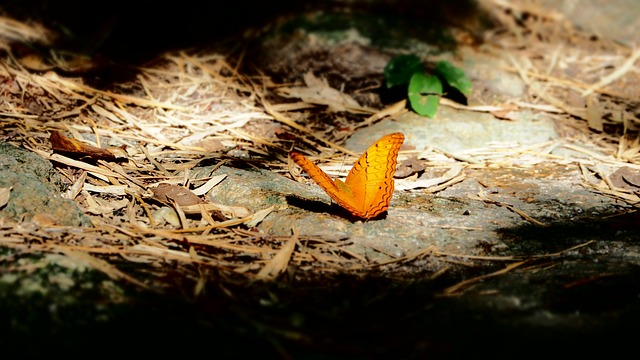 Butterfly, Pa, Insects, Orange Wings, Nature, Ground