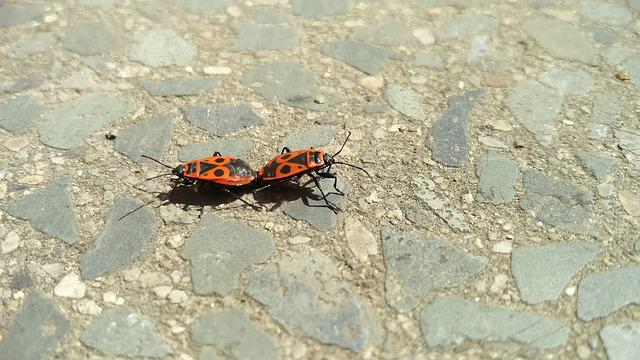Pyrrhocoris Apterus, Mating, Insects, Firebug