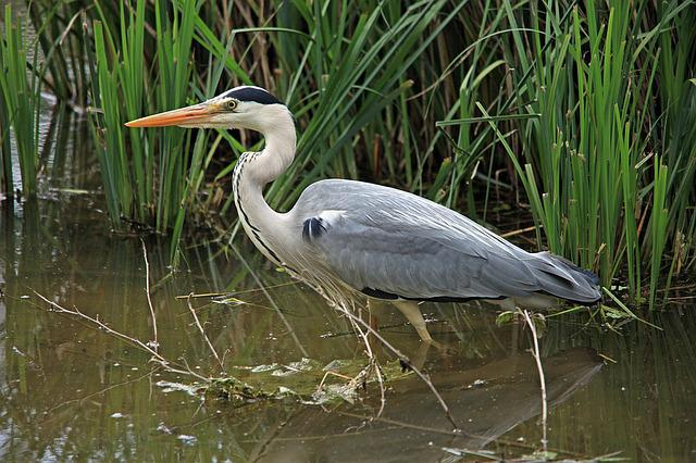 Grey Heron, Heron, Bill, Intervention