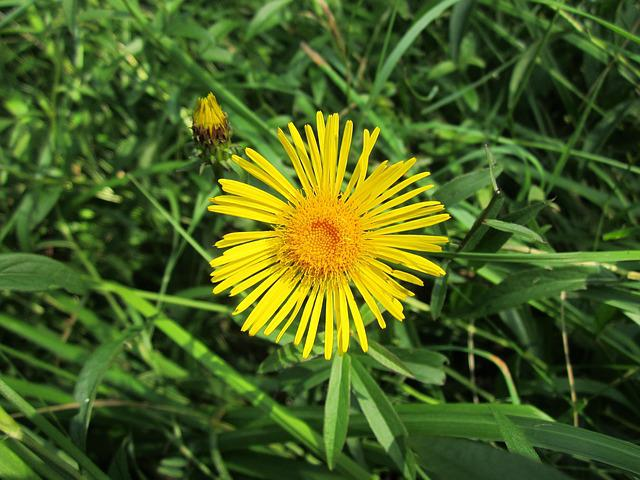 Inula Britannica, British Yellowhead, Meadow Fleaba