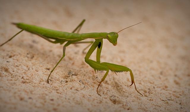 Fauna, Invertebrate, Insect, No Person, Mantis
