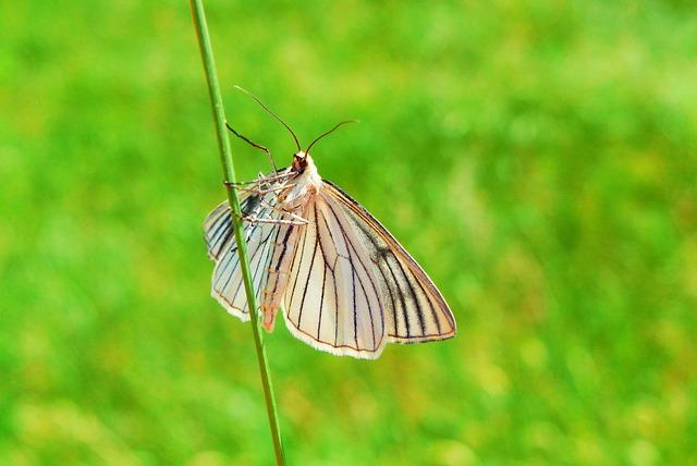 Diblik Liniaczek, Animals, Invertebrates, Insect, Mols
