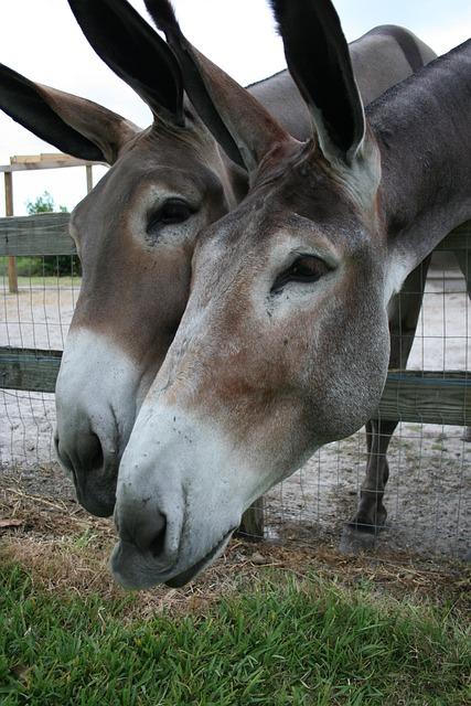 Donkeys, Burros, Side, By, Investigating, Curious, Huge