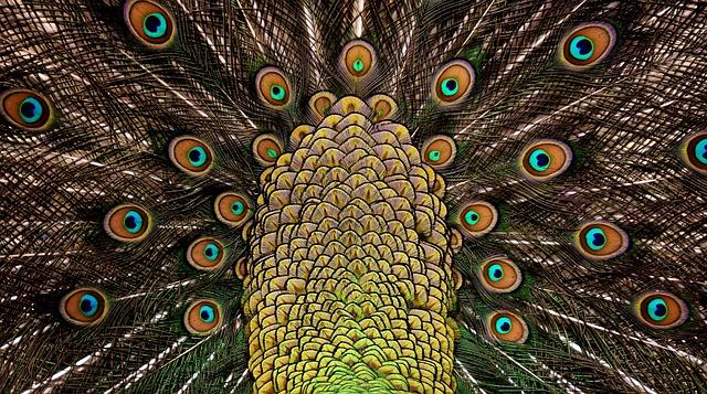 Peacock Feathers, Wheel, Plumage, Iridescent, Animal