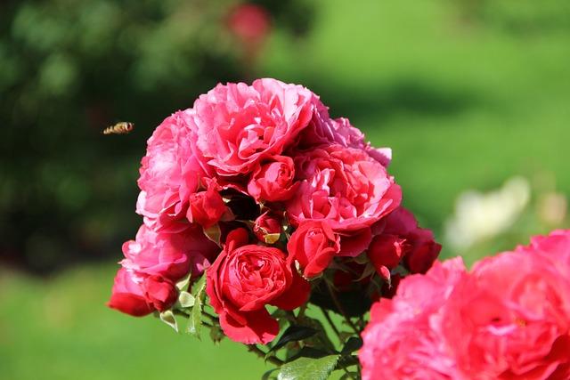Irina, Roses, Rose Garden, Summer, Flowers