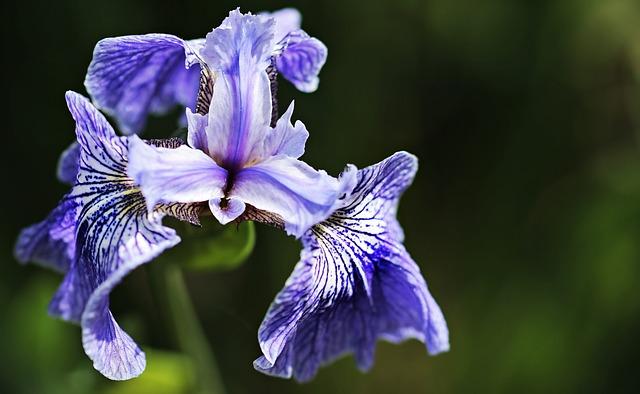Iris, Flower, Flora, Blue, Blossom, Bloom, Nature