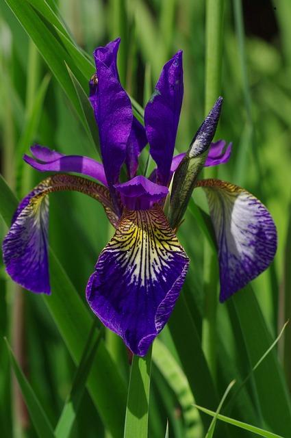 Blossom, Bloom, Blue, Violet, Lily, Iris, Wild Plants