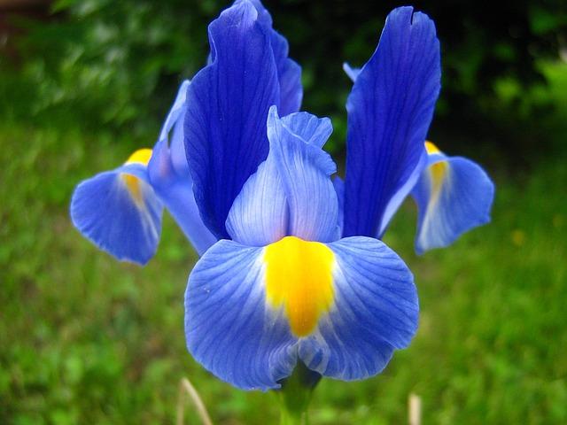 Flower, Iris, Purple Iris, Spring Flower, Fleur-de-lis