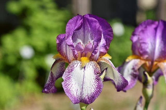 Iris, Iris Flower, Schwertliliengewaechs, Blossom
