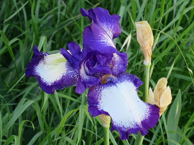 Iris, Violet, Purple, Bicolor, Flower