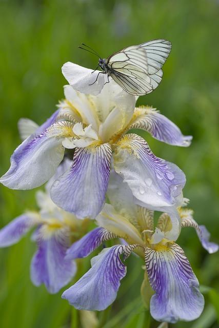 Butterfly, Iris Flowers, Botanica, Bloom, Closeup