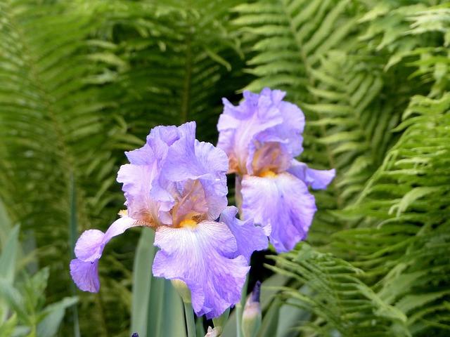 Iris, Flowers, Lilac
