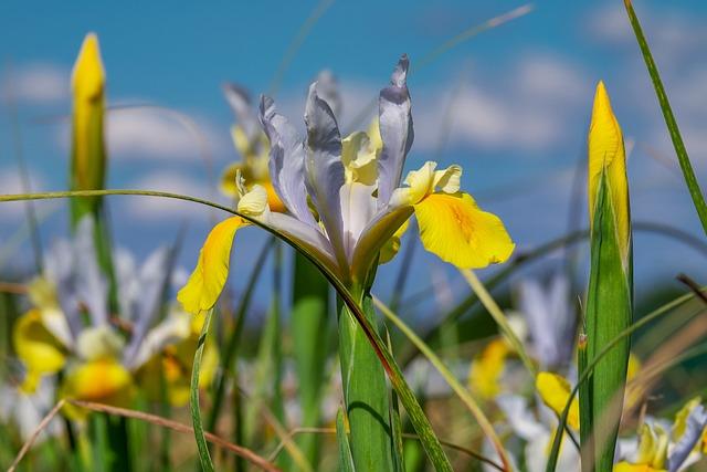 Iris, Flower, Blossom, Bloom, Three Coloured, Nature