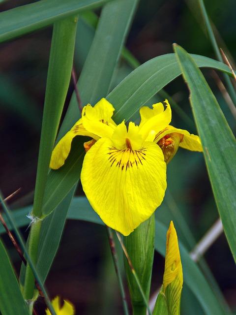 Iris, Iris Water, Iris Pseudacorus, Iridacea