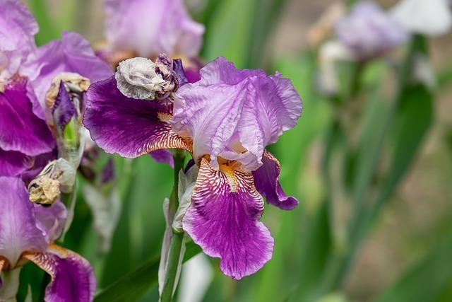 Iris, Flower, Blossom, Bloom, Purple, Nature, Iridaceae