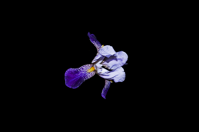 Flower, Bright, White, Art, Iris, Black, Background