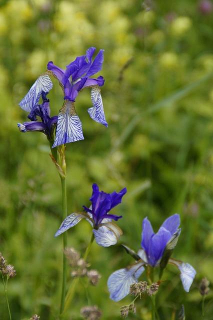 Siberian Schwertlilie, Lily, Iris, Wild Flower