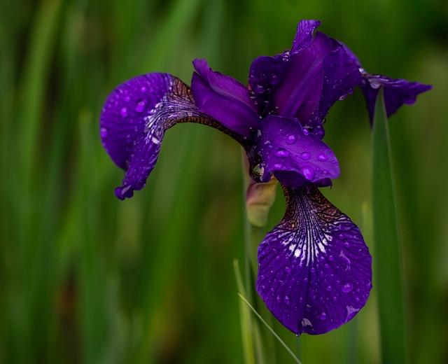 Iris, Irises, Plant, Garden, Nature, Spring, Flowers