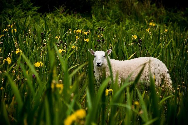 Irish, Lamb, Landscape