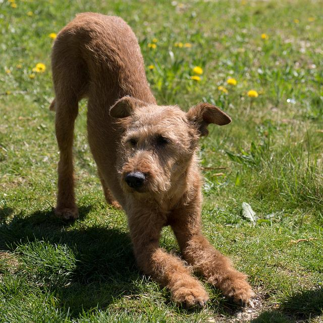 Dog, Irish Terrier, Yoga
