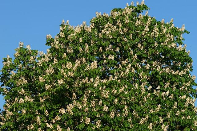Chestnut Tree, Romantic, Isolated, Chestnut, Nature
